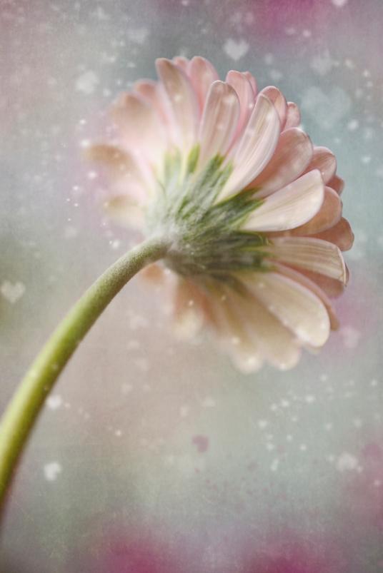 Heart Daisy Blog